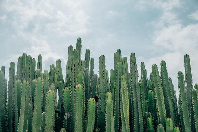 Droom betekenis van een cactus