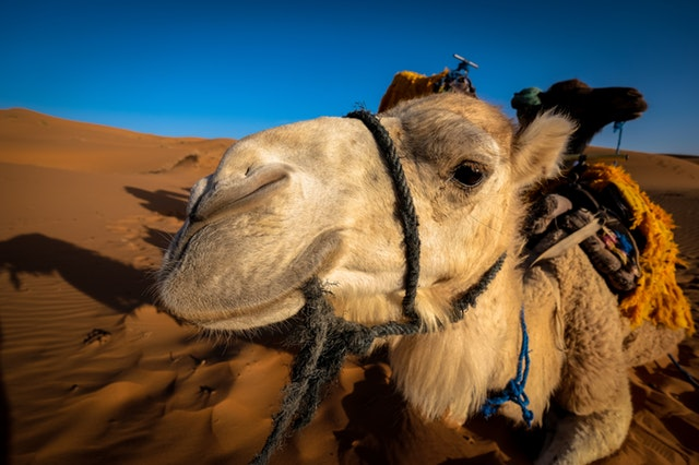 Droom betekenis van kamelen