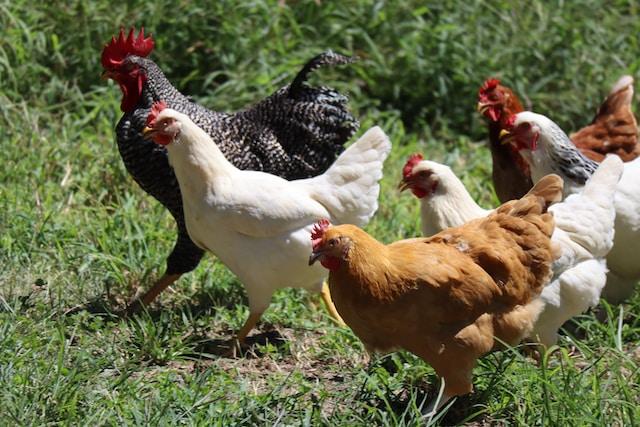 Droom betekenis van kippen