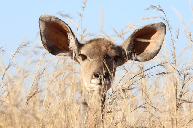 Droom betekenis van oren